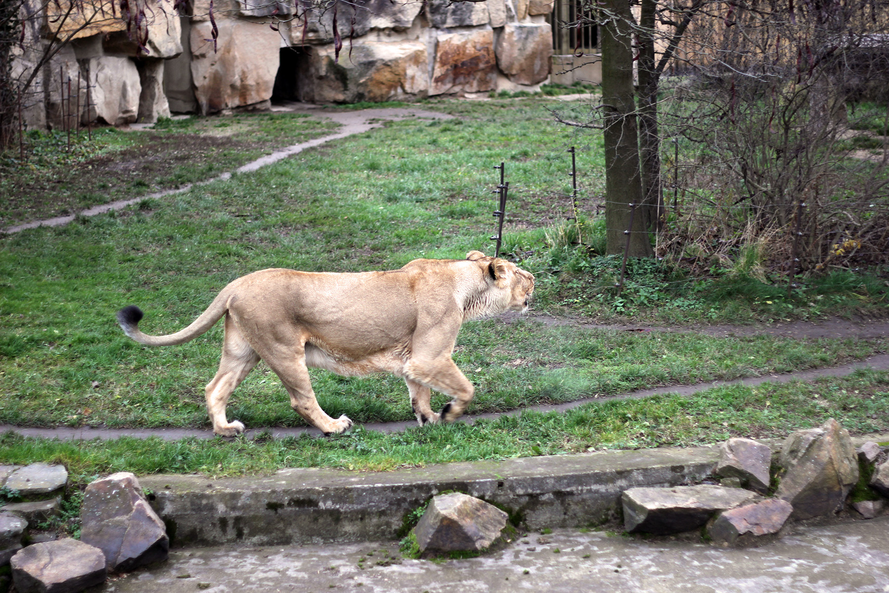 Львица в Пражском зоопарке